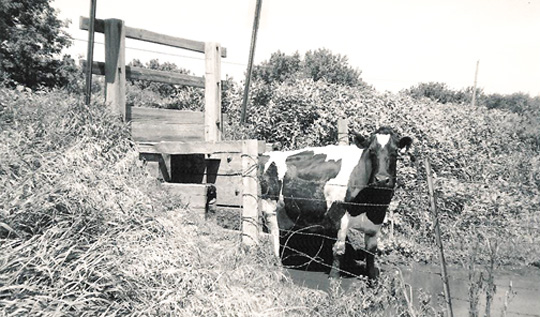 Cow for Dairy Farms.jpg