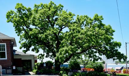 Heritage tree top photo
